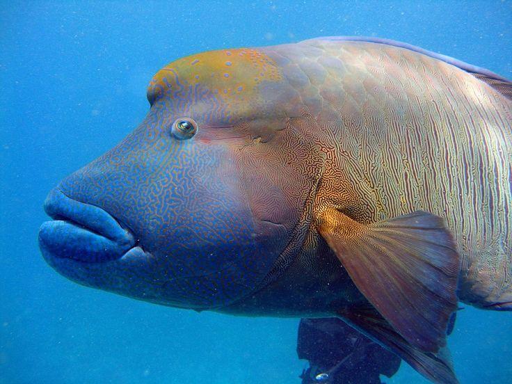 napoleon fish | Большой Барьерный риф, Австралия (30 ...