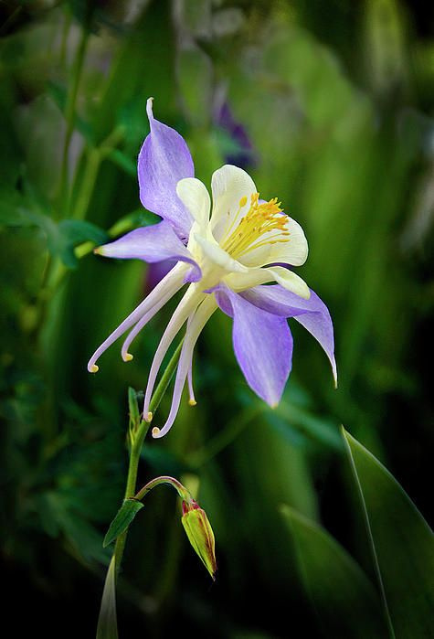 Purple Columbine Photograph by James Steele - Purple Columbine Fine Art Prints and Posters for Sale
