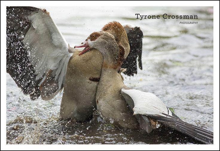 Egyptian Goose Fight