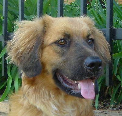 german shepherd golden retriever mix i will have this dog