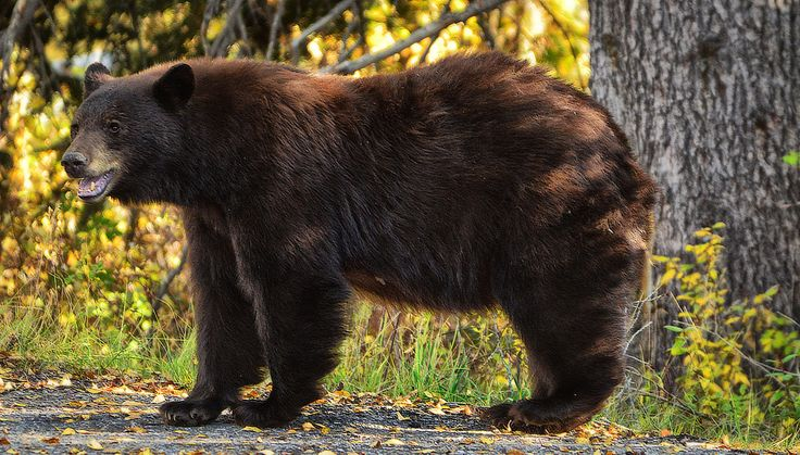 Black Bear Encounter | © Jeff R. Clow Black bears come in a… | Flickr - Photo Sharing!