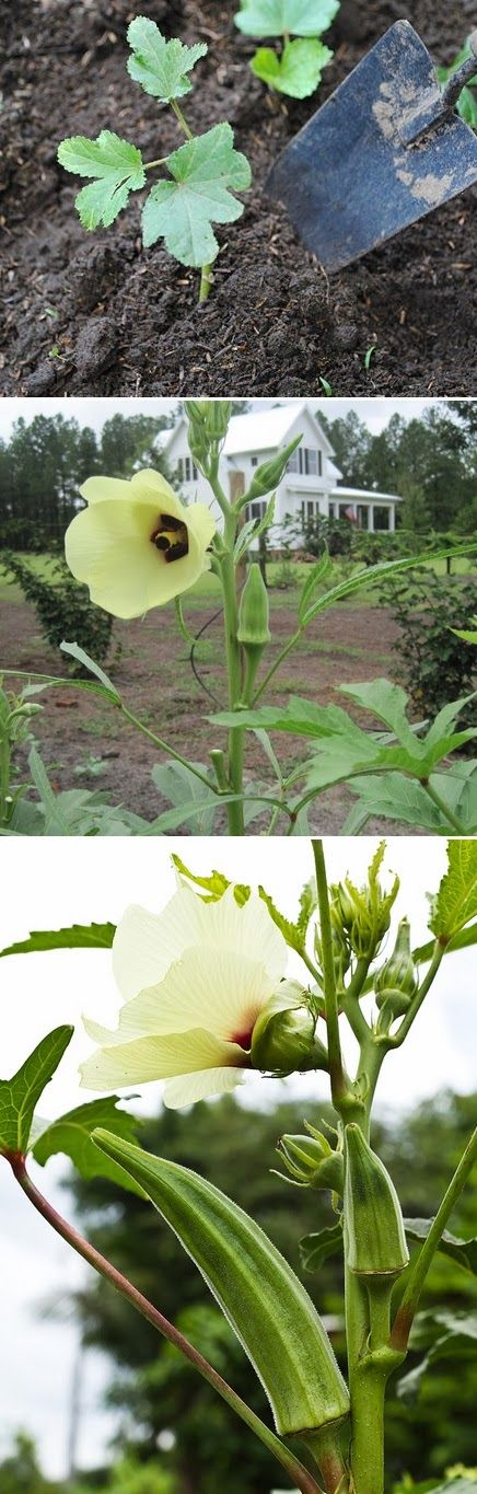 Tips for growing okra