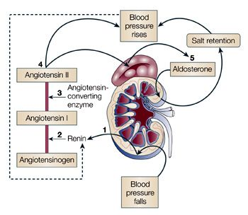 The renin-angiotensin-aldosterone system in a nutshell: