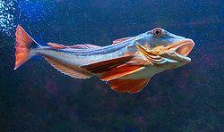štítník červený - mořská ryba, která se živí drobnými malými rybičkami a korýši