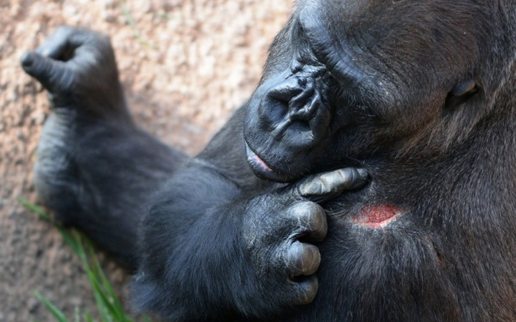 A female gorilla checks a wound at the Los Angeles Zoo and Botanical Garden in Los Angeles