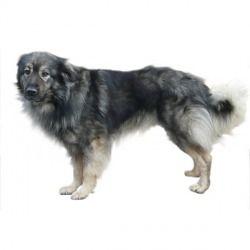 Il Pastore di Karst è un cane di taglia media vivace, intelligente e molto affettuoso. Diffidente con gli estranei, è un ottimo cane da guardia.