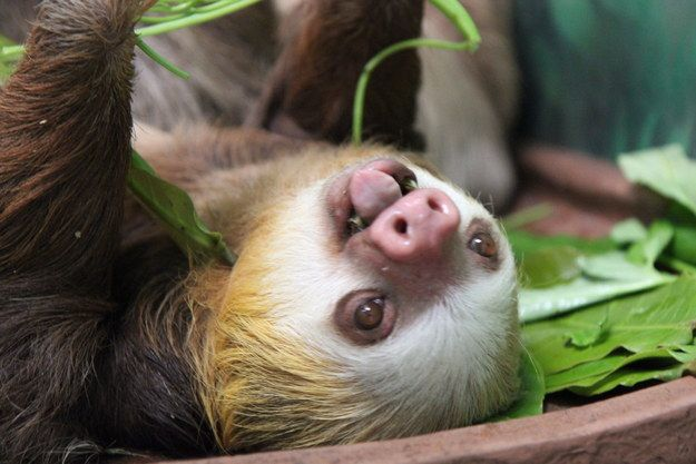 BOOM. | Don't Be Sad, Look At These Baby Sloths Eating Vegetables