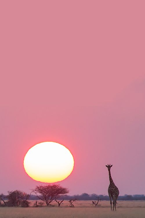 celestiol:  Giraffe Sunset (Nxai Pans, Botswana) | by Hendri Venter