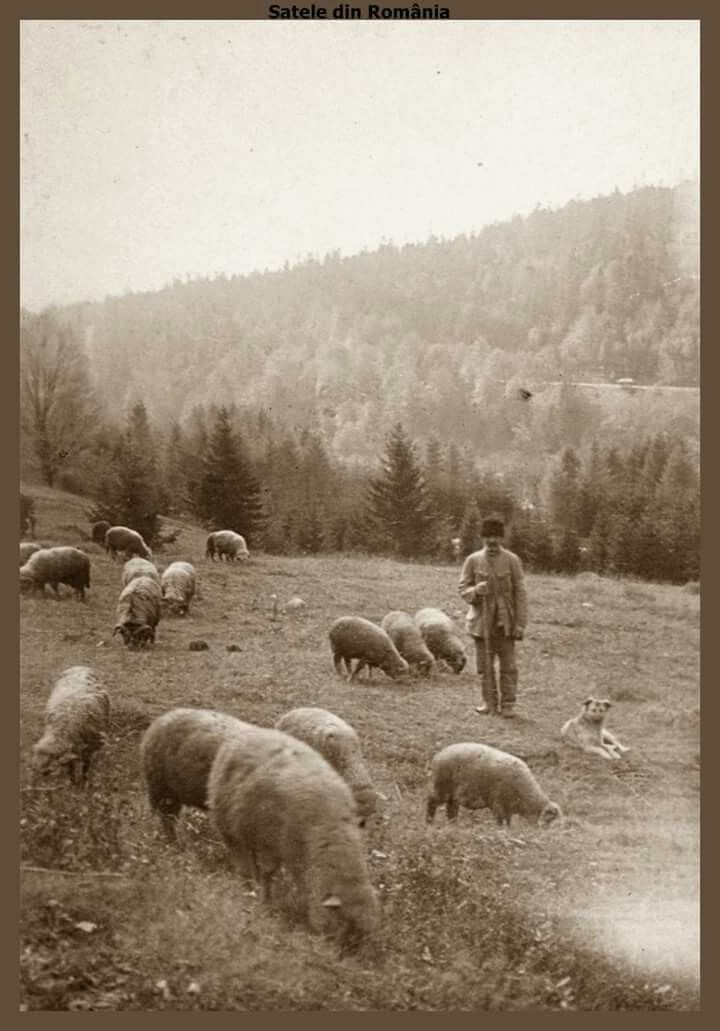 Cioban cu turma de oi pe Valea  Prahovei.1918