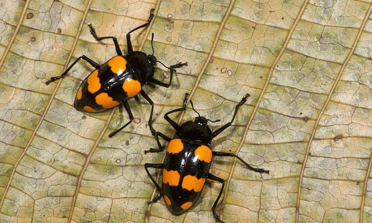 Randy beetles? It must be rain! How the sex lives of insects can predict the weather -- The sex lives of insects are indicators of impending storms, researchers at the University of Western Ontario in Canada have found.