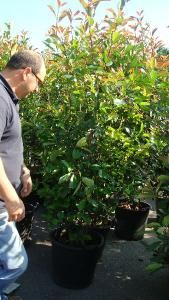 Photinia Red Robin Shrubs and Trees for hedging, Buy Online, UK 2.2m tall