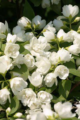 17 best images about garden on pinterest gardens window boxes and pergolas - Philadelphus manteau d hermine ...
