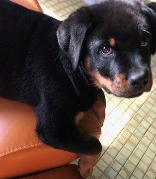 Rottweiler puppy for sale in PARK FOREST, IL. ADN-63858 on PuppyFinder.com Gender: Female. Age: 12 Weeks Old
