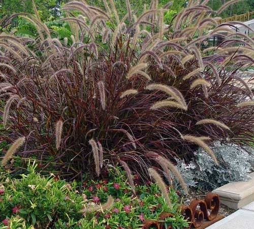 Google image result for for Ornamental grass with purple plumes