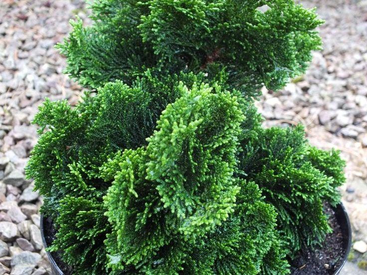 Chamaecyparis obtusa 'Nana Gracilis' Hinoki cypress