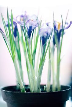 Indoor Saffron Care – How To Grow Saffron Crocuses Inside
