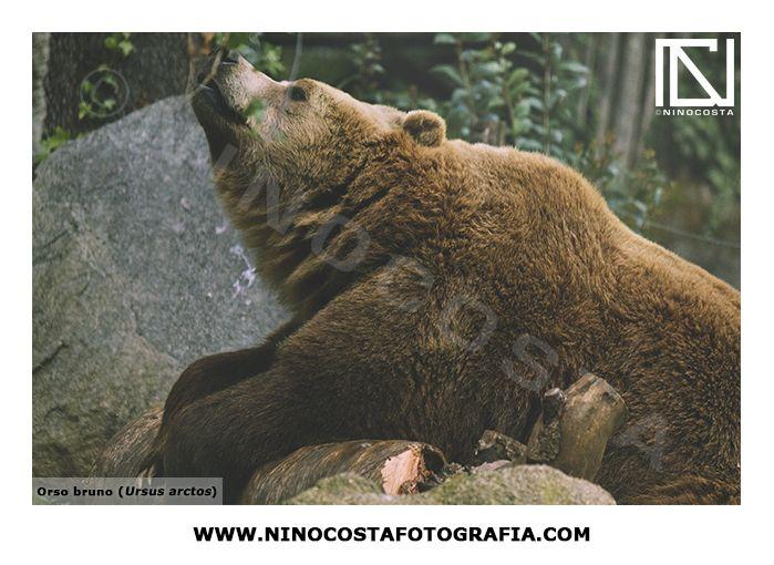 #orso #orsobruno #bear #brown #brownbear #animal #fotografia #photo #animalsphoto #ninocosta #ninocostafotografia #animale #animali #fotografo #bosco #woods #ninocostafotografo #fotograforoma #ninocostaphotographer #nature #photography #naturephotography #photographer #romephotographer #tfcd #shoot #ursus #arctos #ursusarctos