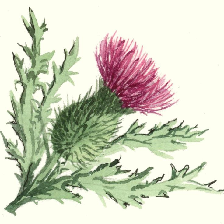 Scottish Thistles Tattoos Designs Scottish Thistles: 25+ Best Ideas About Scottish Thistle Tattoo On Pinterest