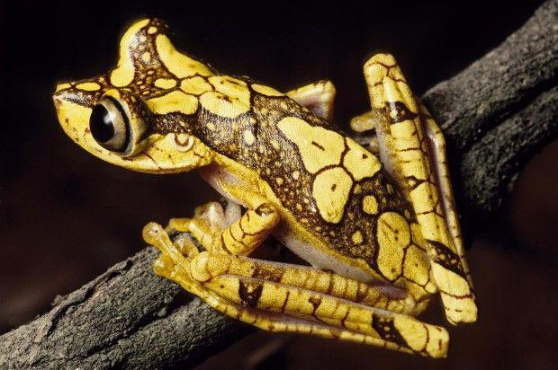 Imbabura Tree Frog - Hypsiboas picturatus