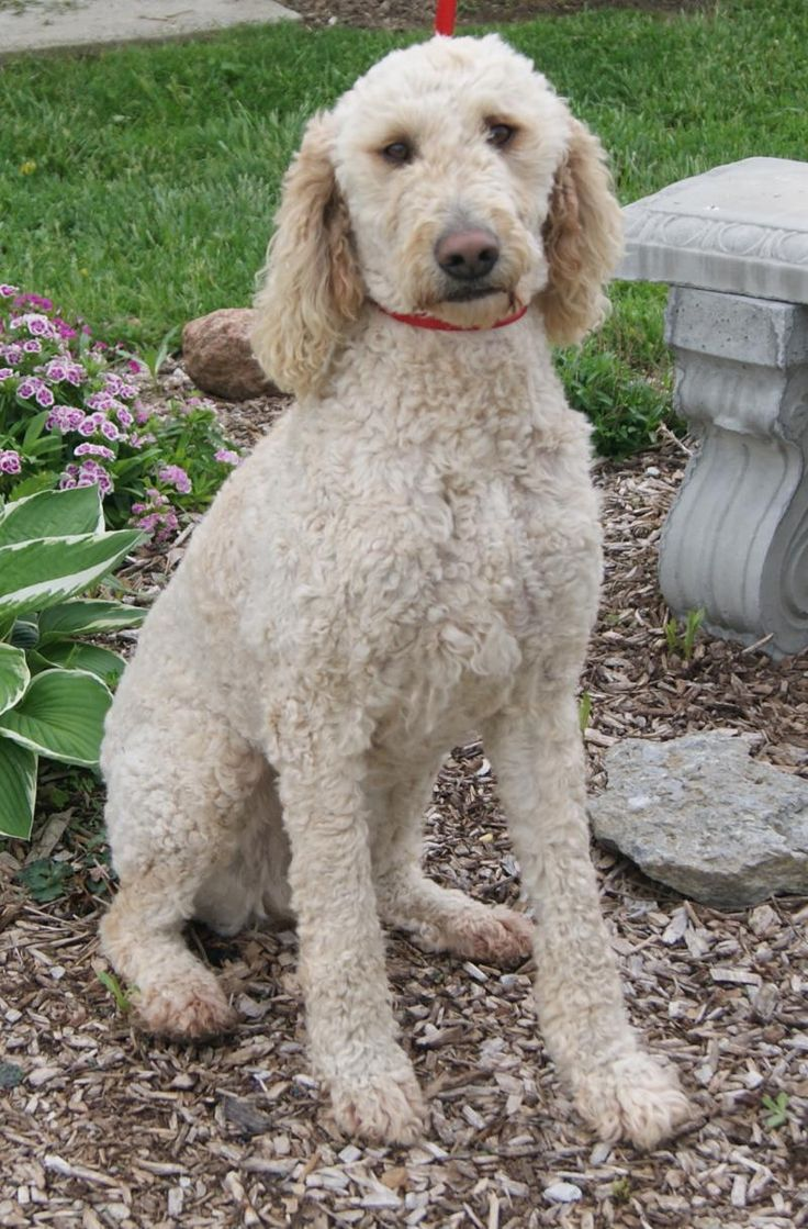types of goldendoodle haircuts google search pretty types of goldendoodle haircuts google search