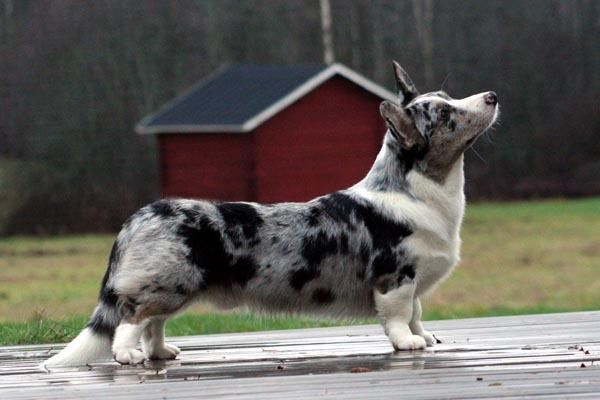 Cardigan Welsh Corgi -- Blue Merle. This looks like the Corgi I had, except she had blue eyes!