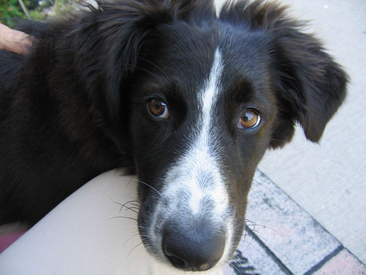 55 Best Images About English Shepherd On Pinterest English Border Collies And 12 Weeks