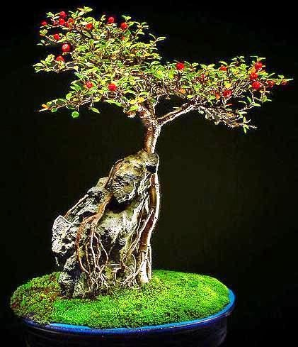 Cotoneaster microphyllus or Smallleaf Cotoneaster Bonsai Tree:root over rock