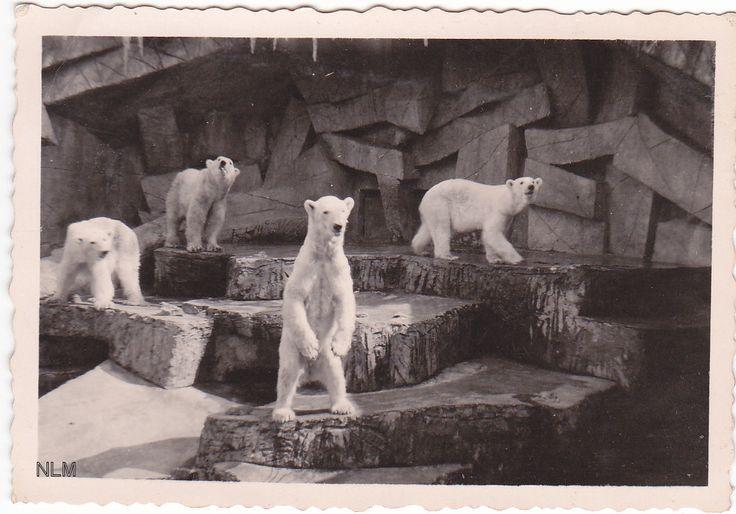 Blijdorp 1950 De IJsberen