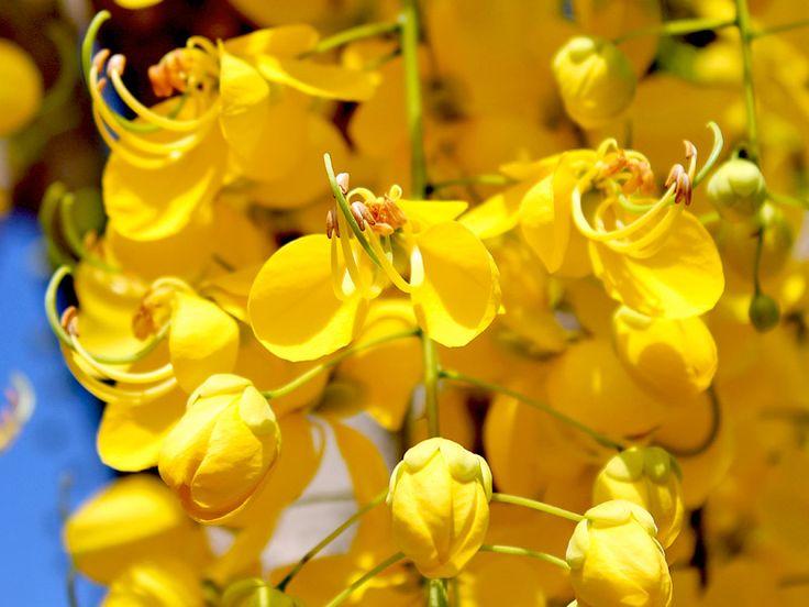 Acácia Amarela - Minhas Plantas