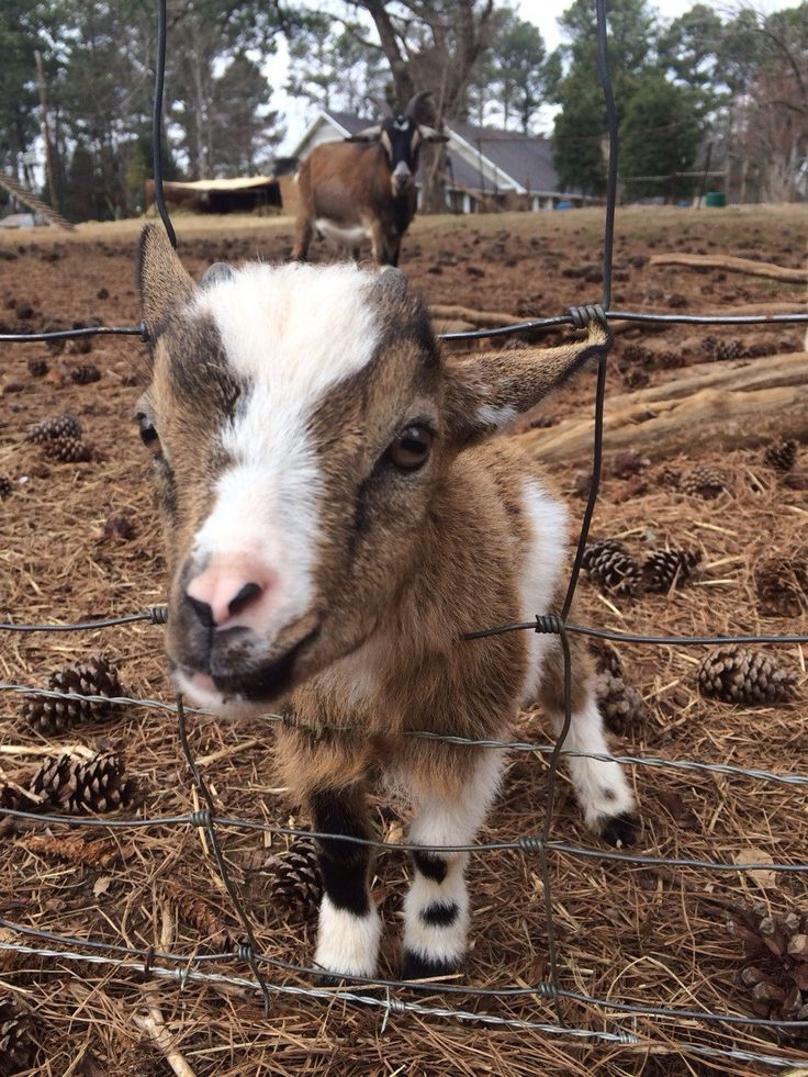 A Goat S Journey Over Life S: 56 Best Baby Goats Images On Pinterest