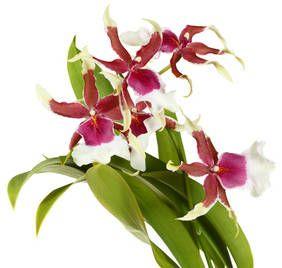 Cambria : tous les conseils d'entretien sur cette orchidée