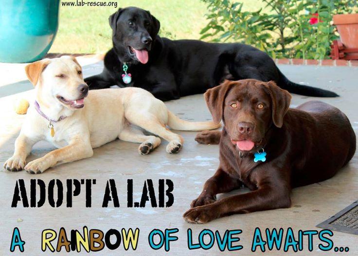 Adopt a Lab!  A rainbow of love awaits www.lab-rescue.org #lab #rescue #adopt #labs #yellowlab #blacklab #chocolatelab