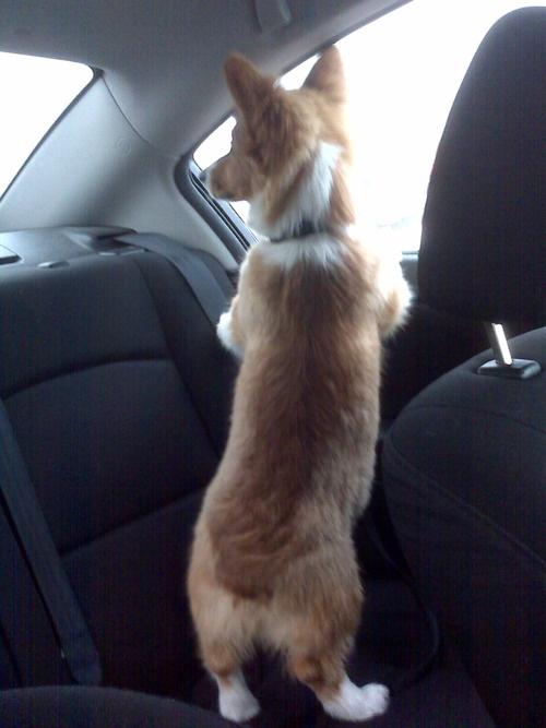What's up?Corgis Rules, Welsh Corgis, Cars Riding, Bunnies Butt, Corgis Someday, Furries Friends, Dogs Life, Corgis Windows, Adorable Animal