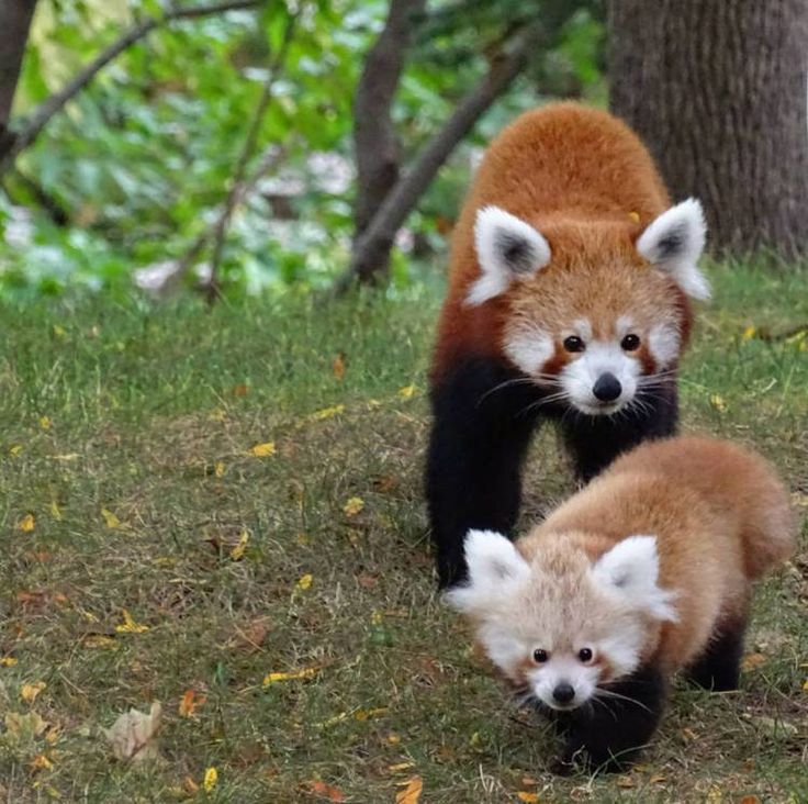 Baby Red Panda Goes For a Crisp Autumn Stroll With Her Mom Around Their Habitat at the Detroit Zoo