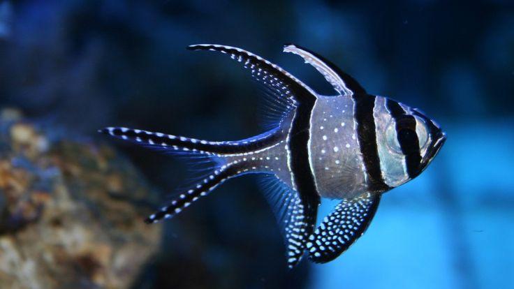 Banggai Cardinal Fish Photos
