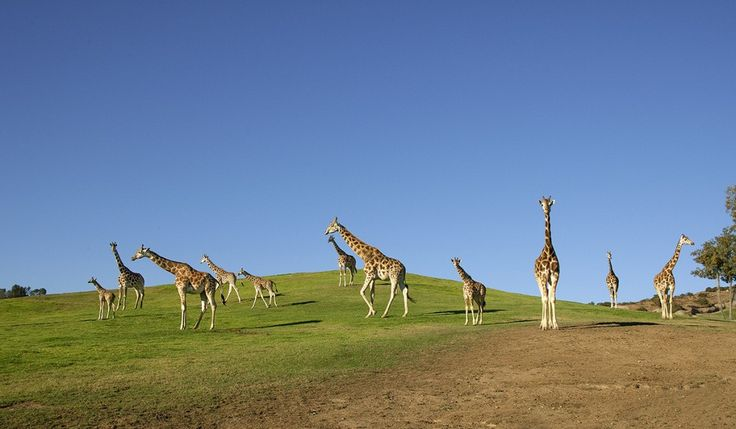 TOWER OF POWER A group of giraffes is called a tower. Though they do not exhibit obvious hierarchical behavior, they do have rich, complex social lives.