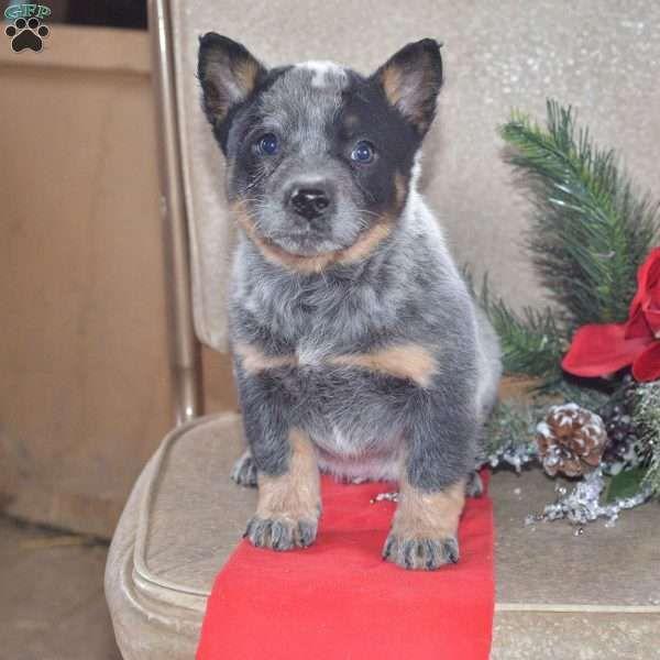 Misty Blue Heeler Australian Cattle Dog Puppy For Sale In Ohio Cattle Dog Puppy Australian Cattle Dog Puppy Australian Cattle Dog