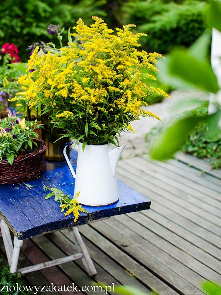 Nawłoć – zastosowanie tego żółtego ziela, które rośnie wszędzie. | Klaudyna Hebda