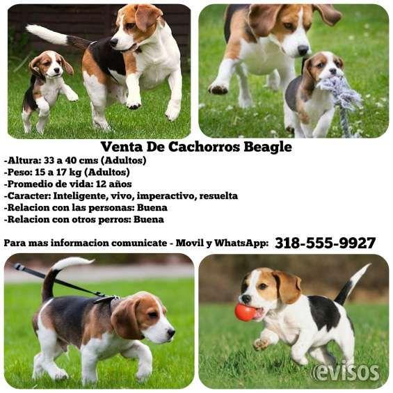 Venta de cachorros beagle garantizados en cali  Cachorros beagle tricolor finos, directamente de criaderos libres de enfermedades virales o ...  http://cali.evisos.com.co/venta-de-cachorros-beagle-garantizados-en-cali-id-450432