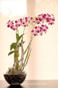 How to care for dendrobium orchids.