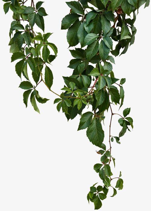 Green Vines, Green Leaf Vines, Green Leaves, Sticks PNG ...