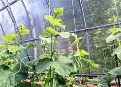 Gurken im Gewächshaus pflanzen – Tipps zum Anbau