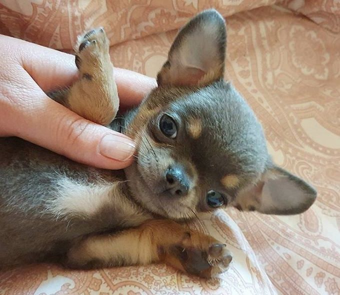 Top 500 Best Female Chihuahua Dog Names The Ultimate List