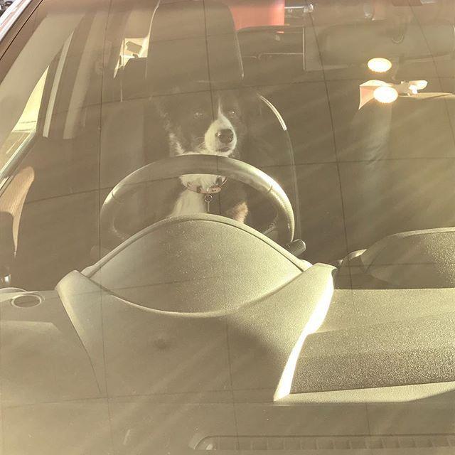 ちょっと用事を済ませて🚗に帰ったら、ゆすが運転席に…。似合ってないこともないなww #愛犬#ワンコ #ドライブ #運転席に犬  #夕日を浴びて #自然にセピア色 #ボーダーコリー大好き  #Border collie #보더 콜리#개  #강아지