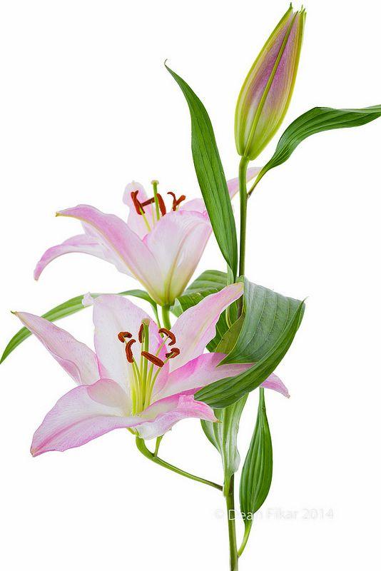 24 Best Images About St Joseph Lilies On Pinterest