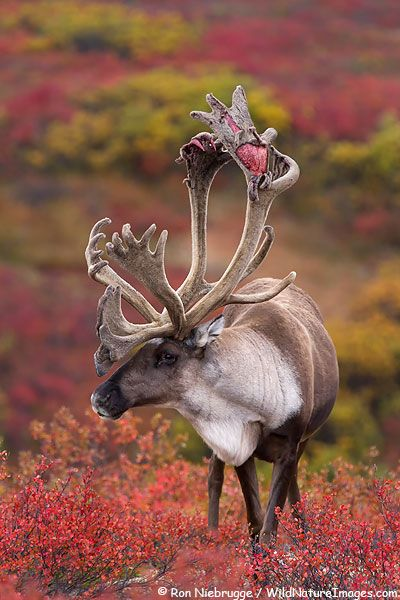 This male Caribou is so beautiful. They live far in the North in Alaska, Norway, Greendland, Norway, Finland, Sibneria and Canada. They are still a staple for the Canadian Inuit. Laplanders of N. Europe, depend on this animal, as well, for their sustenance-which spands over 4 countries. There are many sub-species of these animals. They were all over most the world, at one time.