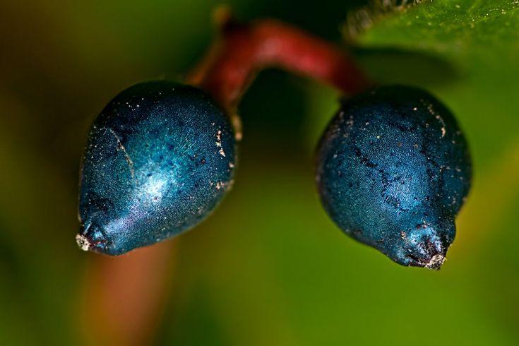 Viburnos (seeds) by Loscar