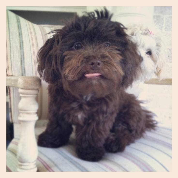 what does a shih tzu dog look like shih tzu poodle mix holy cow it looks like floop 1342