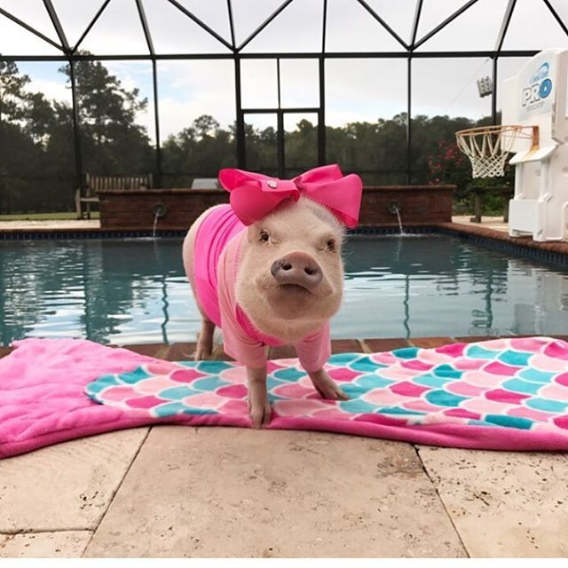 Prissy the pig is showing her true colors with her Fin Fun Mermaid Cuddle Tail!