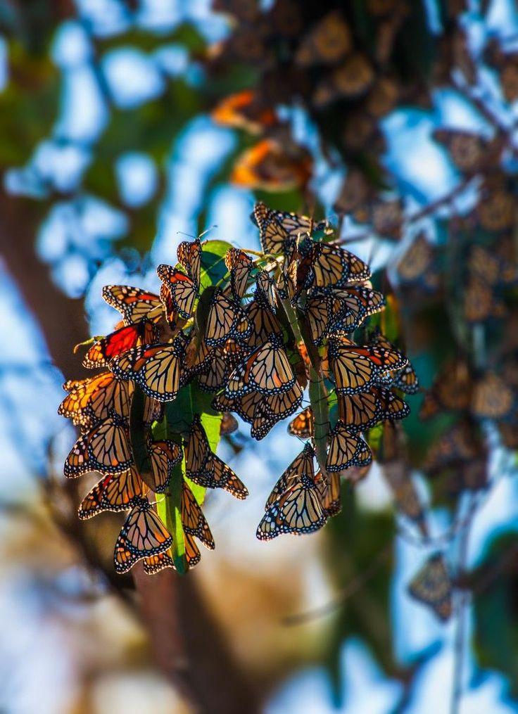 Monarchs in Pacific Grove